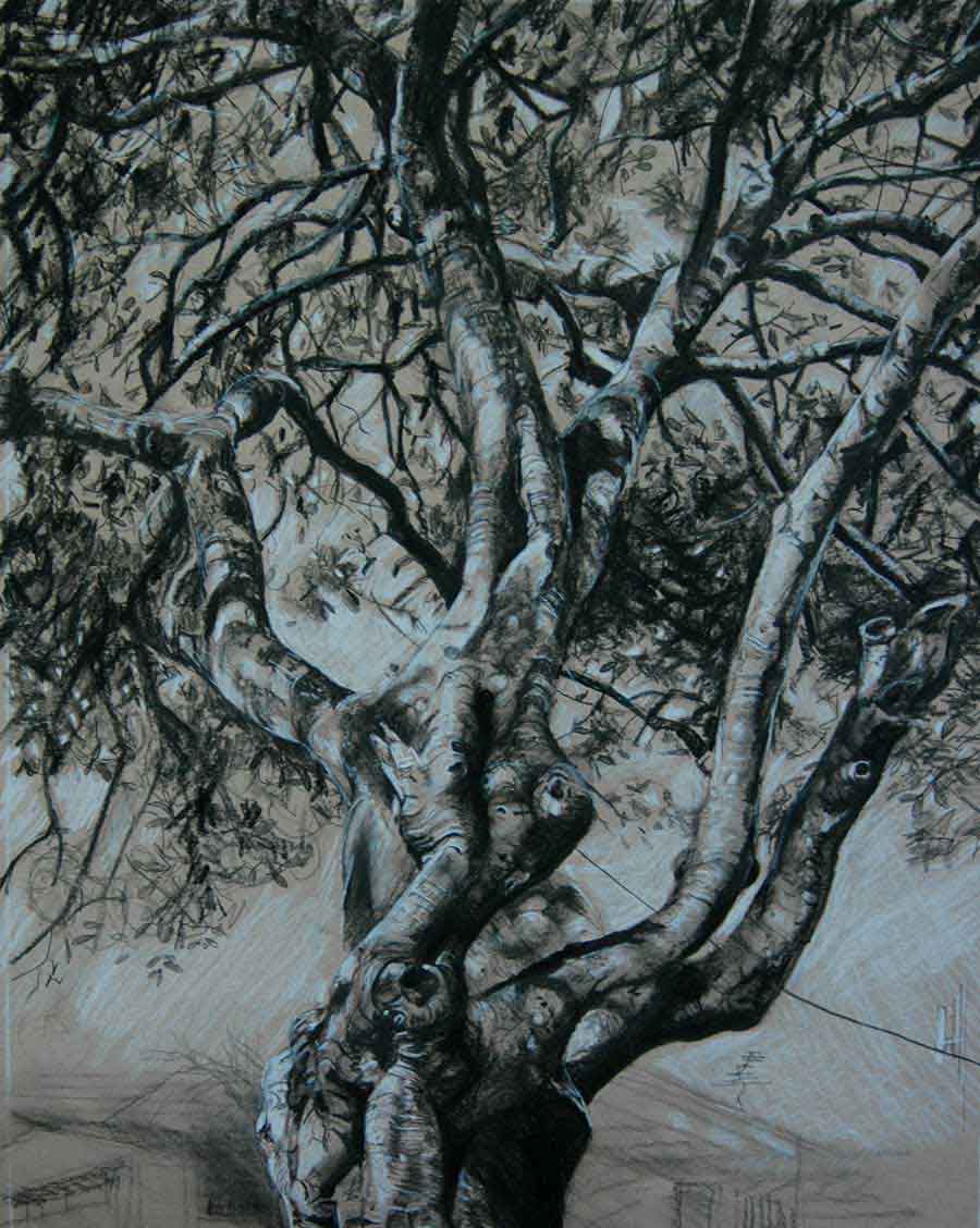 Fig Tree Drawing 4